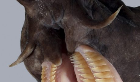 Hagfish teeth