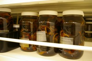 Rat specimens in the Te Papa spirit collection. Photo: Colin Miskelly, Te Papa