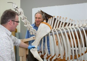 Robert Clendon and Dr Alex Davies discuss the positioning of Phar Lap's left forelimb and scapular. Photo: Te Papa