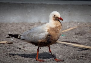 Red-billed gull oiled at Maketu. Photograph by and reproduced courtesy of Dominique Filippi