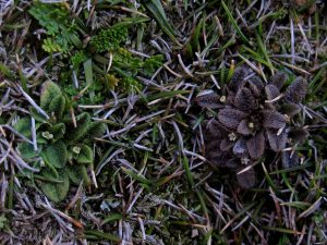 Close-up of two Myosotis brevis plants showing green-leaved and brown-leaved forms from coastal Taranaki, Oct 2011. Photo by Jessie Prebble, © Te Papa.