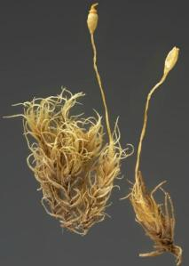 "A specimen of the moss Dicranoweisia spenceri in Te Papa's collection. This species has a conservation ranking of ""Data deficient""; that is, not enough is known about its occurrence to classify the level of threat it faces. © Te Papa."