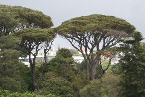 The distinctive canopy shape of Pinus pinea. Photo: Antony Kusabs, Te Papa.