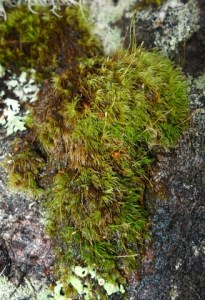 The moss Dicranoweisia spenceri on a branch of a beech tree, Tongariro area.  Photo Leon Perrie, © Te Papa.
