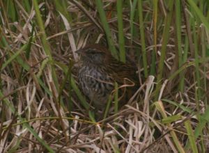 Codfish Island fernbird exiting nest among cocksfoot, Sealers Bay, Codfish Island. Photo: Colin Miskelly, Te Papa, December 2011