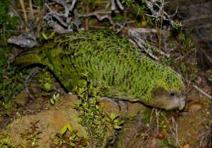 Kakapo at night on Codfish Island. Photo: Colin Miskelly, Te Papa, December 2011