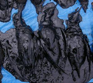 Fluttering shearwaters killed by the Rena oil spill. Photo: Colin Miskelly, Te Papa