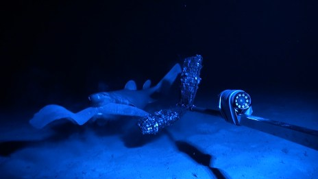 Dalatias licha attacking hagfish