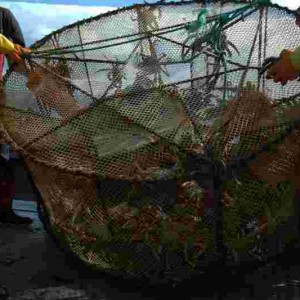 A trap set off Auckland Island caught over 200 crabs in a few hours. A few specimens kept for further study; rest released alive. Te Papa
