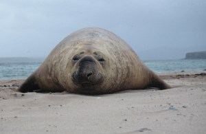 Elephant Seal  Auckland Islands 1995. Photo Anton van Helden .© Te Papa