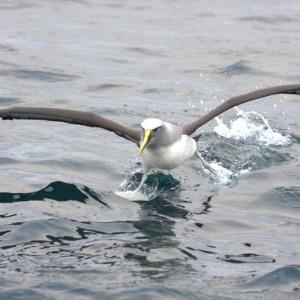 Buller's mollymawk landing (Snares Islands). Te Papa
