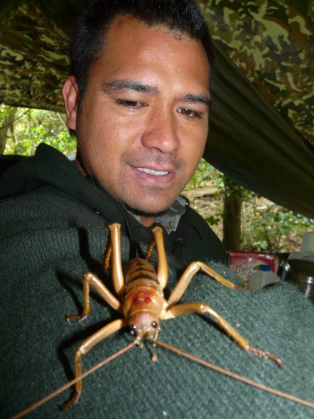 This Poor Knights giant weta, climbing on DOC ranger Matiu Mataira, was found hiding in our tent. Photo Alan Tennyson, Te Papa