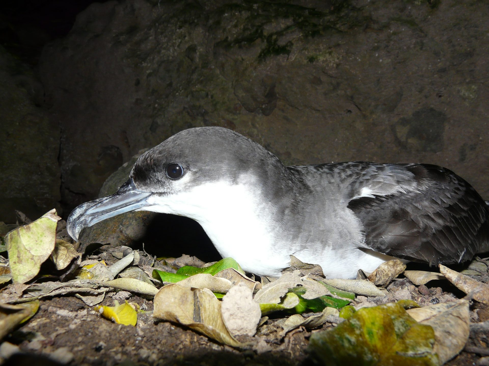 Buller's shearwaters nest only on the Poor Knights. Photo Alan Tennyson, Te Papa