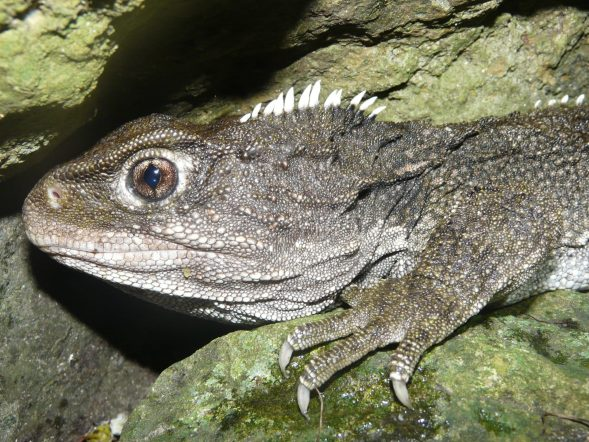 A tuatara hunting at night. Photo Alan Tennyson, Te Papa