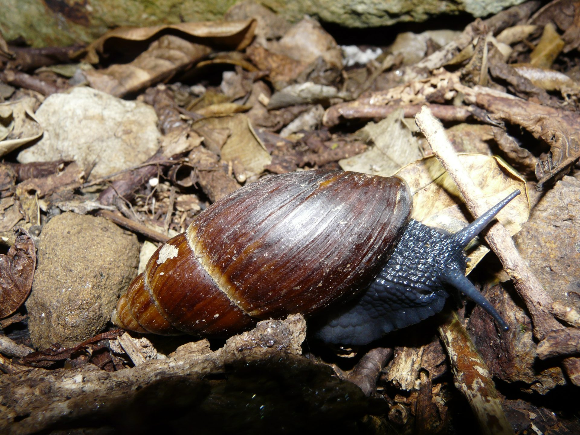 The giant land snail Placostylus hongii is common on the Poor Knights. Photo Alan Tennyson, Te Papa