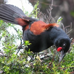 North Island saddleback displaying. Photo: Rob Cross