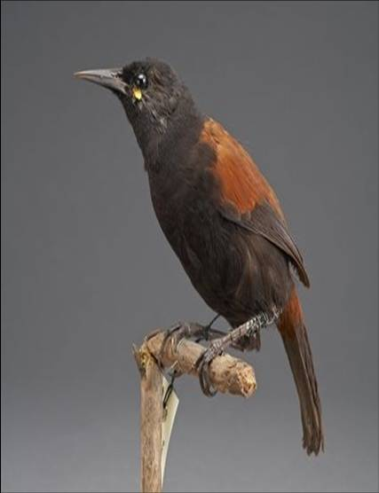 A saddleback specimen in the Te Papa collection – an unwilling sentinel species for stoat impacts. Image: Te Papa