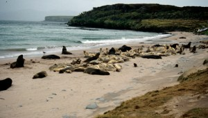 Sandy Bay Enderby Is Auckland Islands 1995
