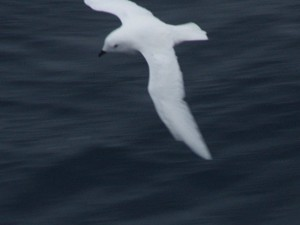 Snow petrel. Photo Anton van Helden, copyright Te Papa