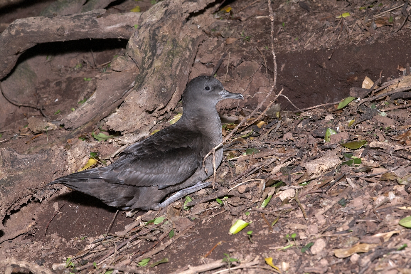 Sooty shearwaters are the most common seabird found at Titi island. Photograph by Jean-Claude Stahl. © Te Papa