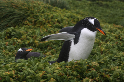 Gentoo penguin, Macquarie Island. Photo Anton van Helden, copyright Te Papa.