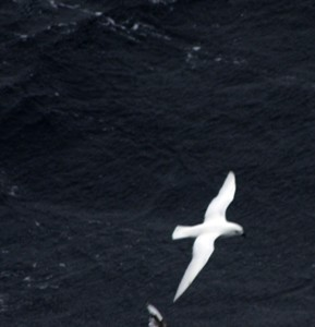 TePapa_snow and antarctic petrel