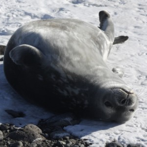 Weddell seal. Photo Anton van Helden, copyright Te Papa.