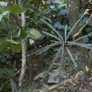 Juvenile fierce lancewood in dry ridge forest. Photograph by Jean-Claude Stahl, Te Papa.