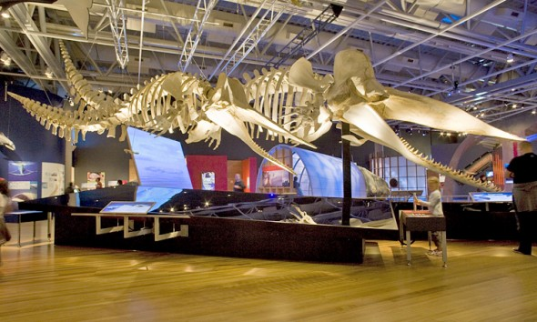 Whales Tōhora exhibition at Te Papa, with Tū Hononga the male sperm whale skeleton.
