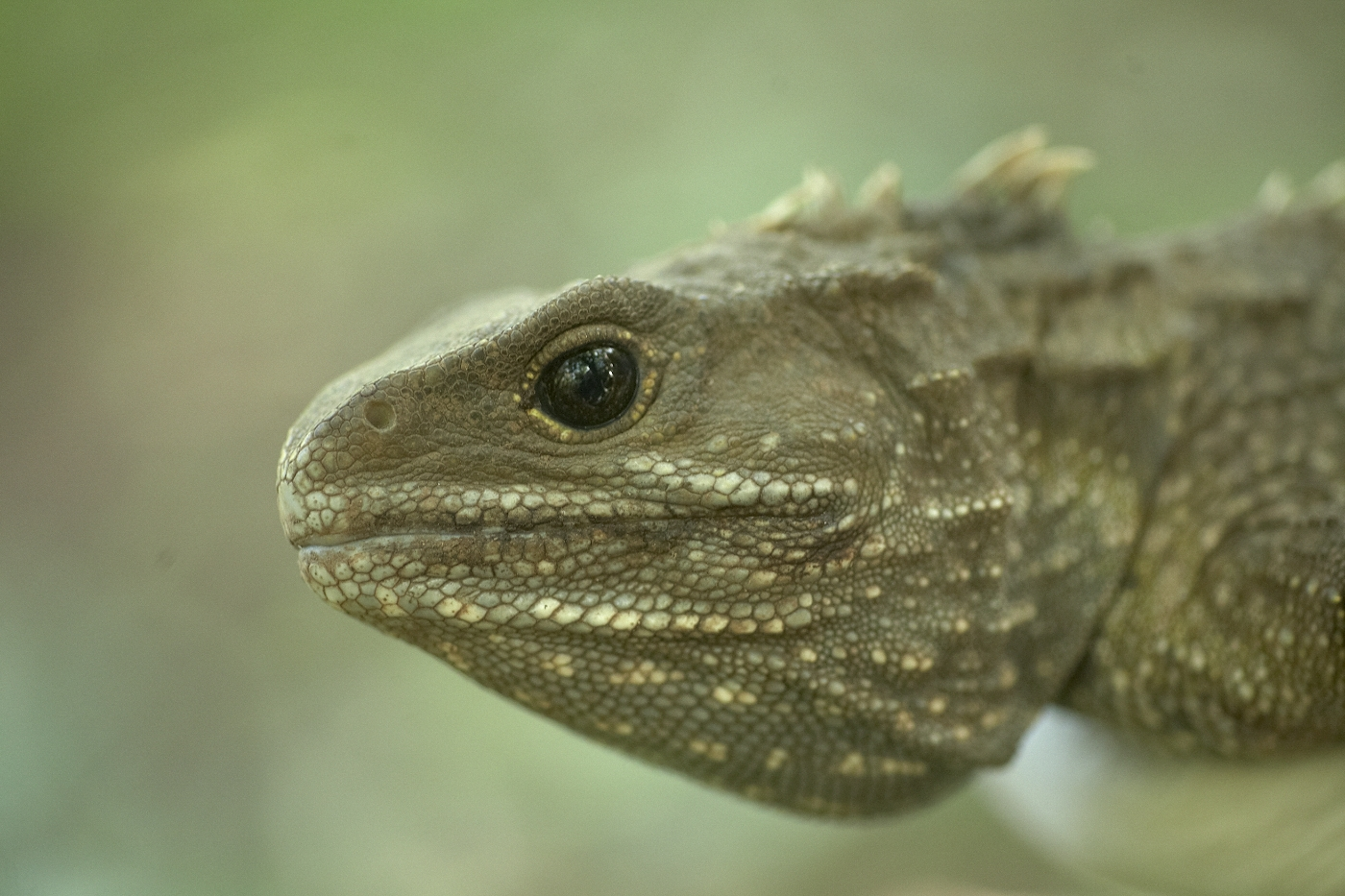 Tuatara sourced from the Brothers were introduced to the island. Photograph by Jean-Claude Stahl. © Te Papa