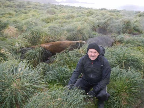 Elephant seals and regenerating tussock. Victor Anderlini.