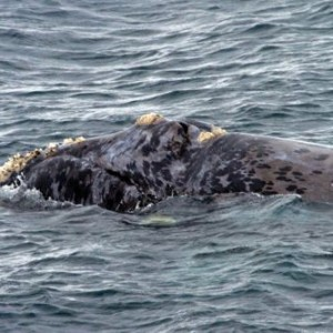 Right whale, Port Ross, Auckland islands. Image WWF.