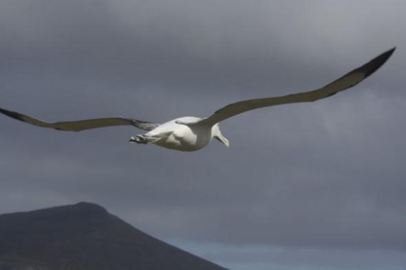 Royal albatross. Photo Anton van Helden, copyright Te papa.