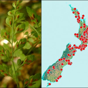 Hooker's spleenwort fern (Asplenium hookerianum) and its distribution in New Zealand based on specimens in Te Papa's collection.