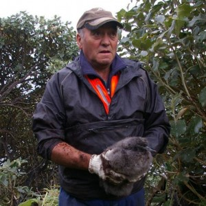 A muttonbirder holds a pre-season titi (sooty shearwater chick). Photo: Colin Miskelly, Te Papa