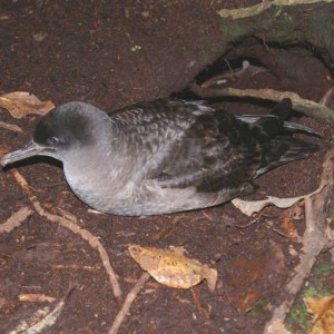Adult sooty shearwater (kaiaka), Kundy Island. Photo: Colin Miskelly, Te Papa