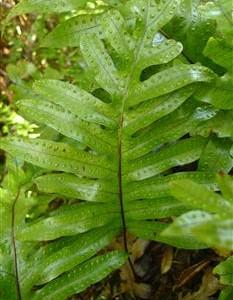 Hound's tongue fern, Microsorum pustulatum.
