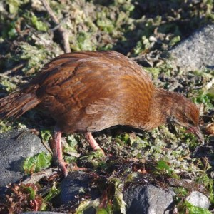 A weka fossicking among tidewrack on the shoreline of Jacky Lee Island, March 2012. Photo: Colin Miskelly, Te Papa