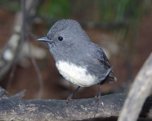 Stewart Island robin on Solomon Island, March 2012. Photo: Colin Miskelly, Te Papa