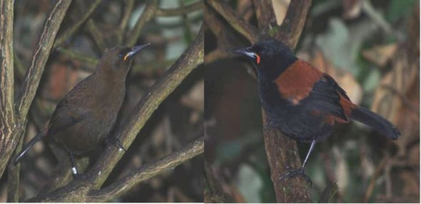 Jackbird (juvenile South Island saddleback - on left) and adult South Saddleback photographed 3 days after they were re-introduced to Solomon Island, March 2012. Photos: Colin Miskelly, Te Papa