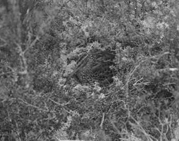 South Island snipe at its nest on the tops of Taukihepa, December 1931. Edgar Stead photograph 2010.75.158, Canterbury Museum