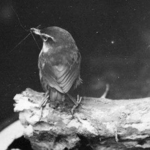 Bush wren on Solomon Island, November 1931 (Edgar Stead photo 2001.59.20, Macmillan Collection, Canterbury Museum)