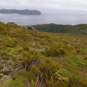 Putauhinu Island viewed from the summit of Taukihepa. Edgar Stead studied the now extinct South Island snipe breeding among the stunted manuka and inaka on the tops of Taukihepa in 1931. Snares Island snipe were successfully introduced to Putauhinu Island in 2005. Photo: Colin Miskelly, Te Papa