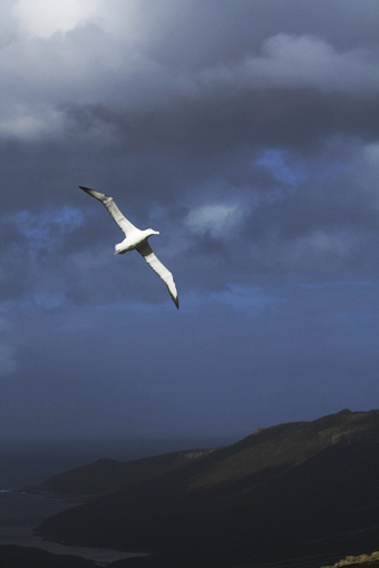 royal albatross. Photo Anton van Helden, copyright Te Papa.