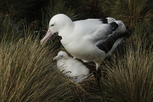 Royal albatross and chick. Photo Anton van Helden, copyright Te papa.
