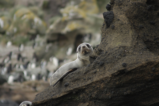 Furseal. Photo Anton van Helden, copyright Te Papa.