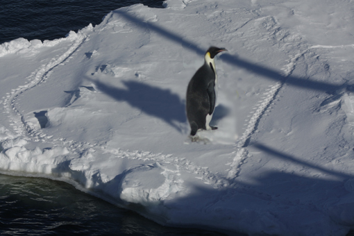 Emperor penguin & tracks on sea ice. Photo Anton van Helden, copyright Te papa.