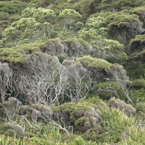 Kanuka scrub, West Bay. Photo Jean-Claude Stahl, Te Papa.