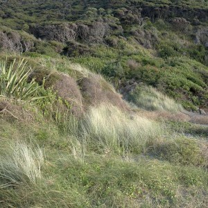 Sand beach with spinifex and Muehlenbeckia complexa, West Bay. Photo Jean-Claude Stahl.