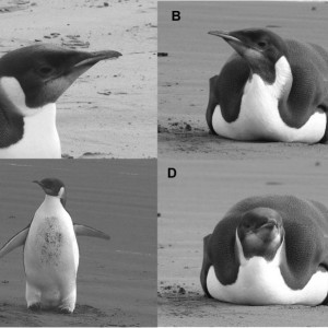 The emperor penguin on the beach at Peka Peka. Photos A & C, Colin Miskelly, Te Papa; B & D, Richard Gill, Department of Conservation